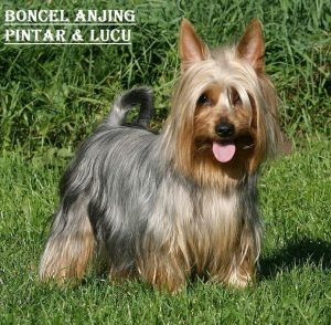 Boncel Anjing Pintar & Lucu