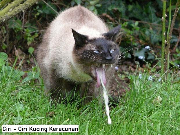 Ciri - Ciri Kucing Keracunan