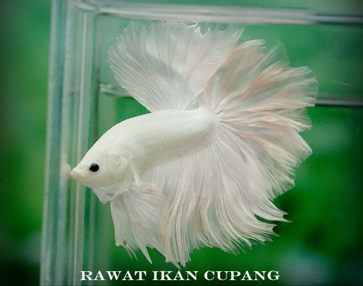 Tips Rawat Ikan Cupang
