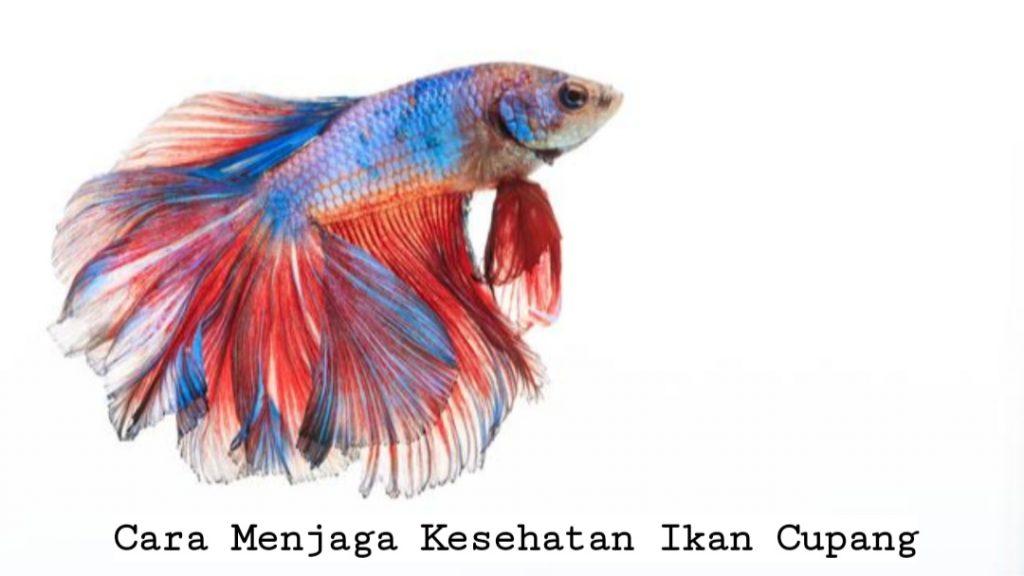 Cara Menjaga Kesehatan Ikan Cupang