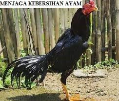 Menjaga Kebersihan Ayam