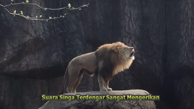 Suara Singa Terdengar Sangat Mengerikan