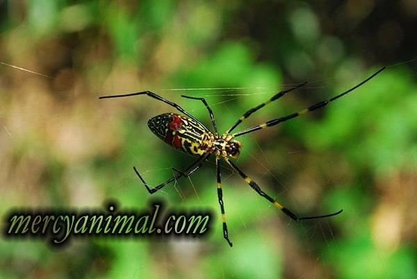 Jenis Laba-laba Paling Berbisa di Dunia